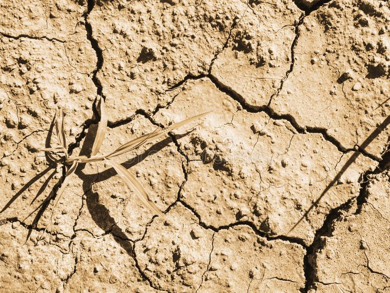Maize corn field hit by hard drought in hot summer. Dry ground of cracked clay with last green flower, weather, waterless, terrain, sun, heat, stalk, split stock photo