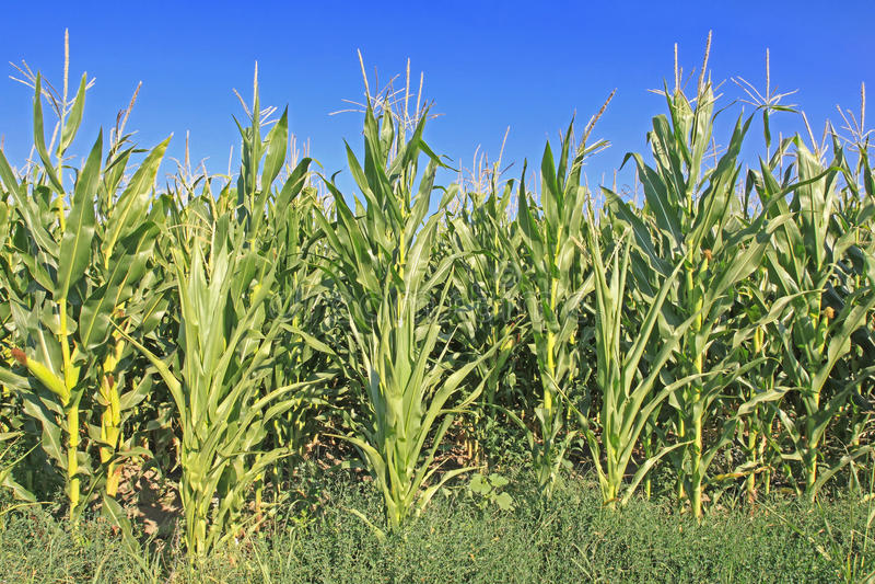 Maize Corn royalty free stock photography