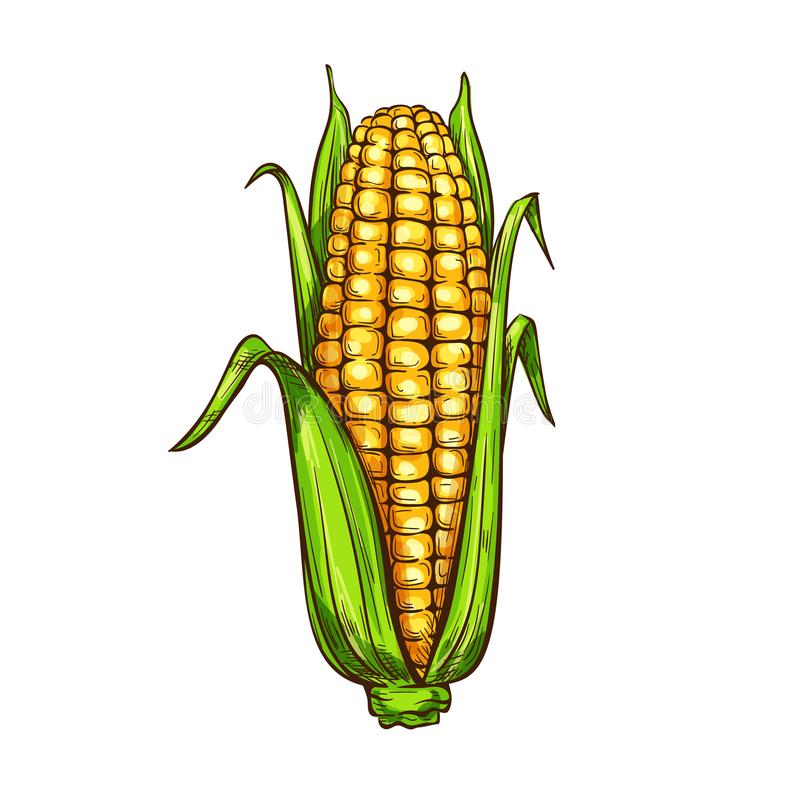 Maize corn vector sketch vegetable icon royalty free illustration