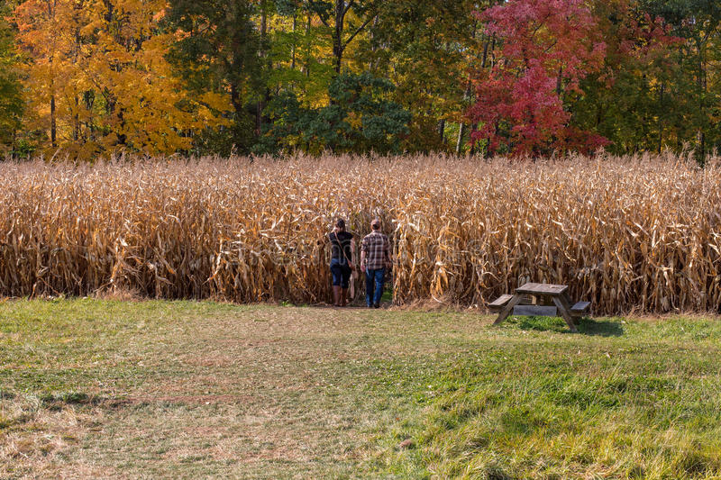 Into the Maize stock photography