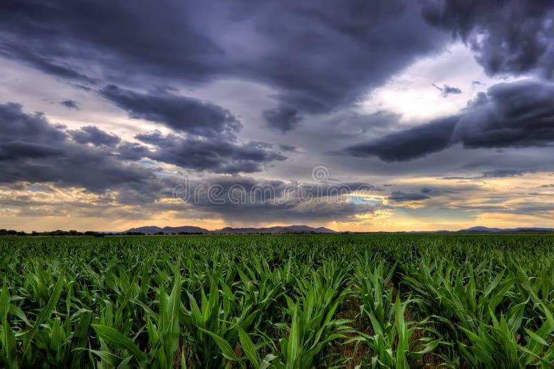 Maize Crop stock photography