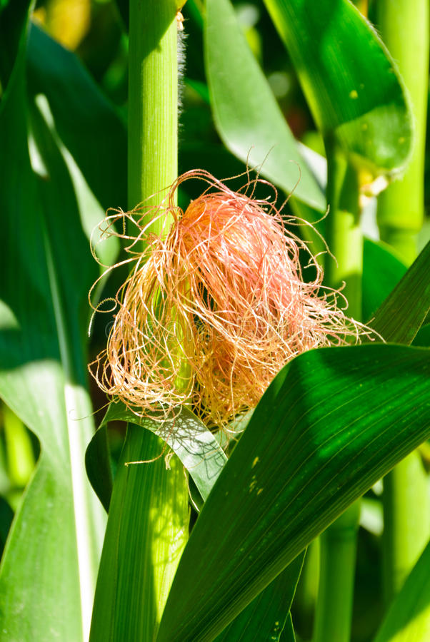 Download Maize ear stock image. Image of corn, maize, leaf, feed - 24670691