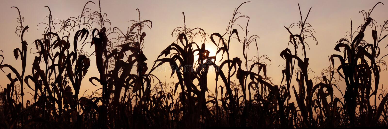 Download Maize Field Stock Images - Image: 11280714