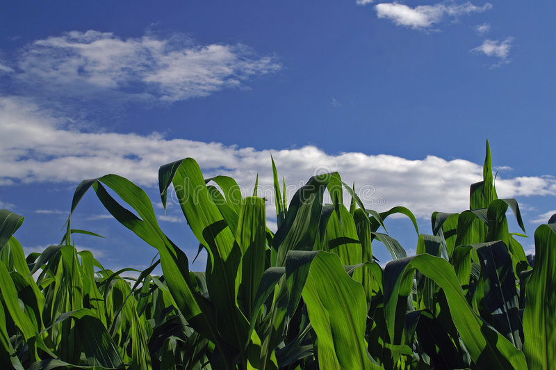 Download Maize field stock image. Image of clouds, harvest, corn - 5689097