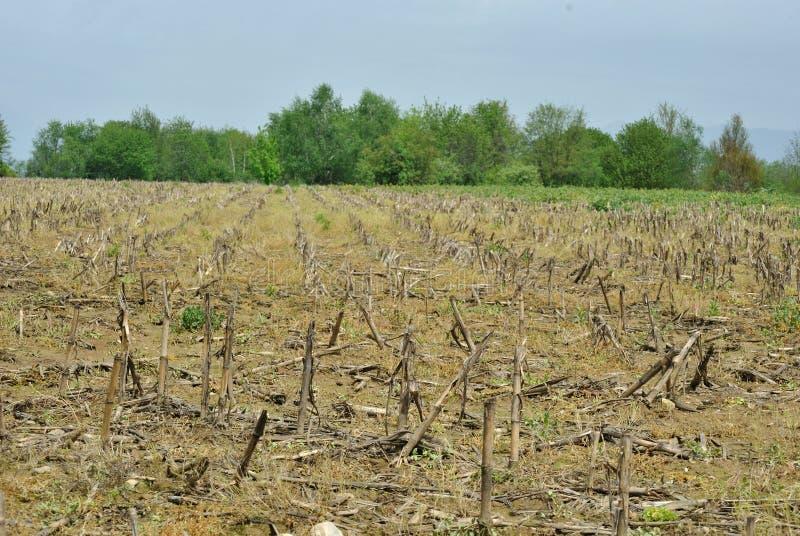 Download Maize field stock photo. Image of farmland, landscape - 31047332