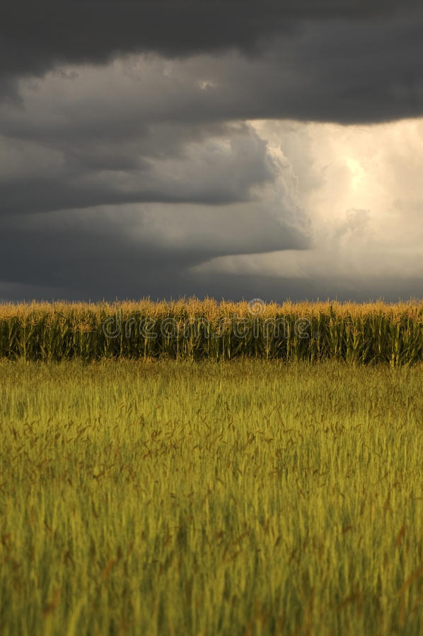 Download Maize Field With Thunderstorm Clouds Stock Image - Image: 30033409