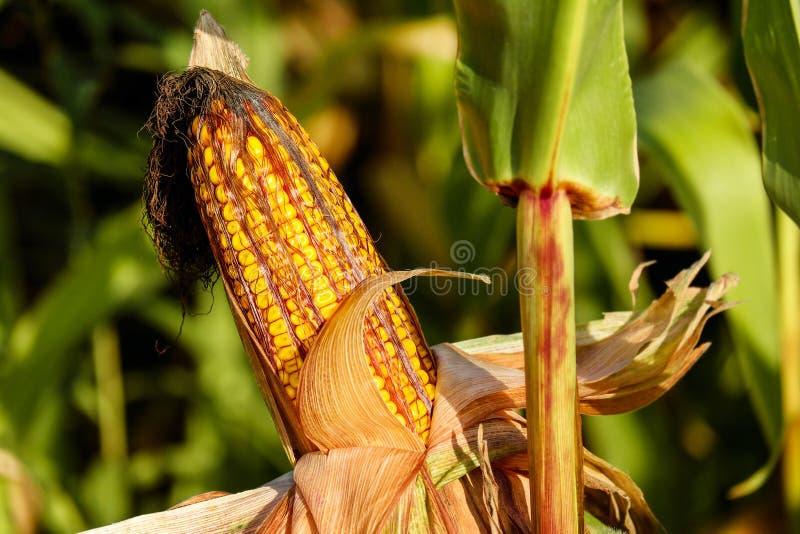 Maize, Food Grain, Close Up, Plant Stem stock photo