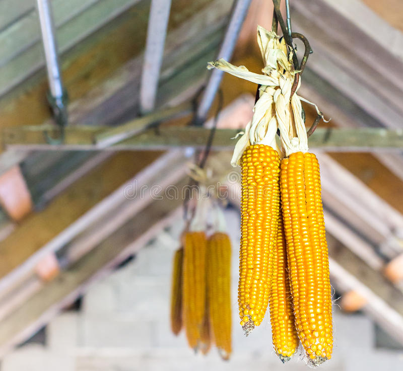 Maize hanging on attic royalty free stock photos