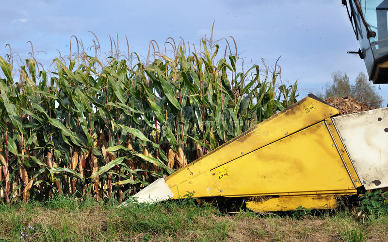 Download Maize Harvest Royalty Free Stock Images - Image: 21386419