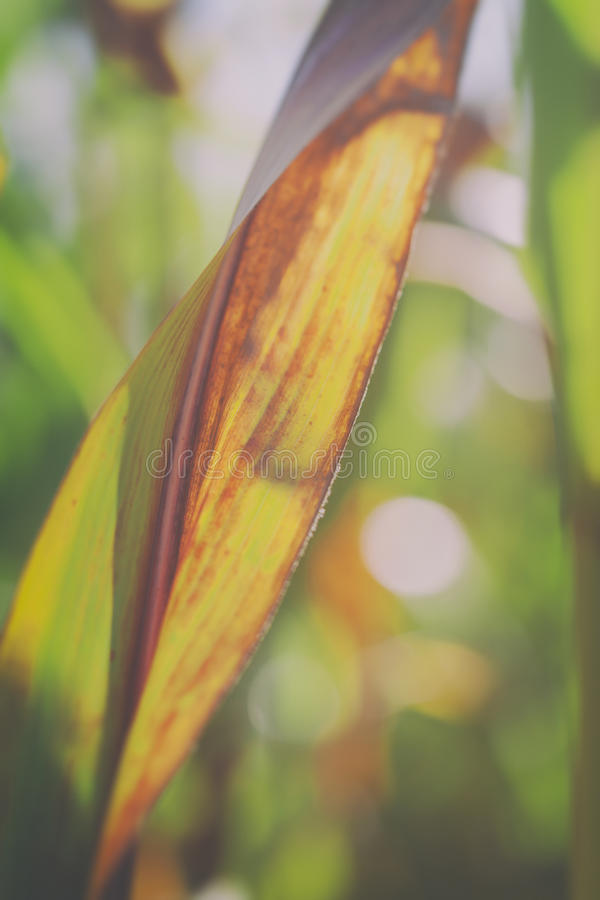 Maize leaf royalty free stock photography