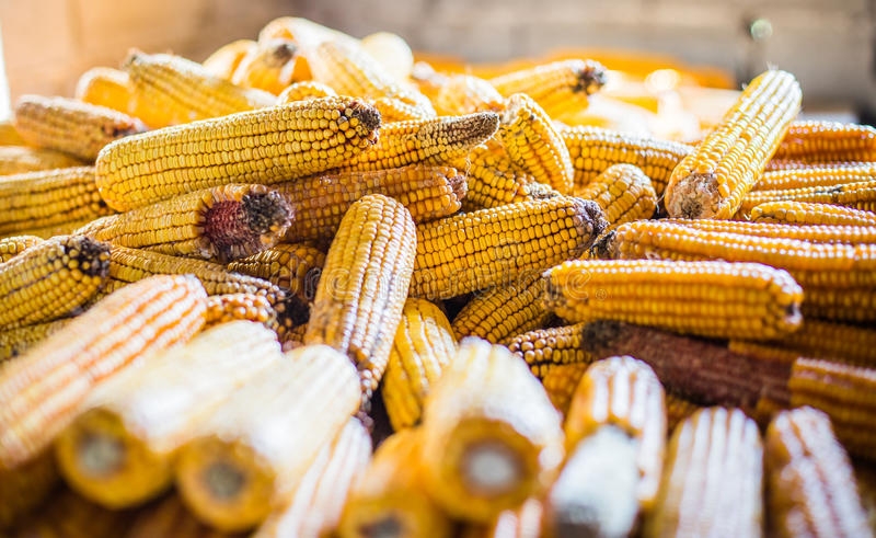 Maize pile drying royalty free stock photo