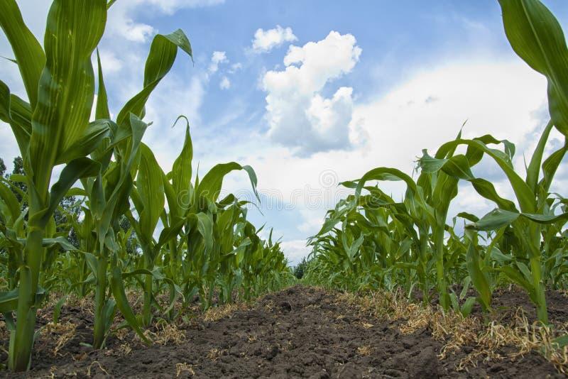 Download Maize Plants stock image. Image of plant, crops, corn - 29009211