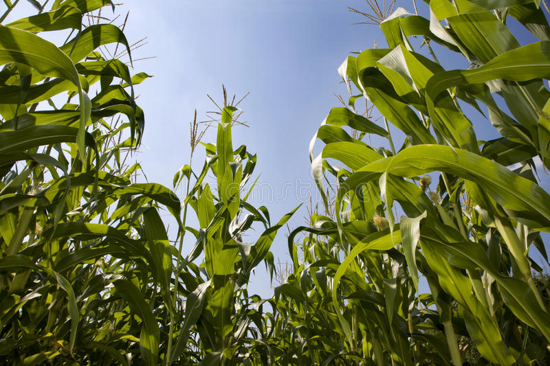 Maize and the sky stock photography