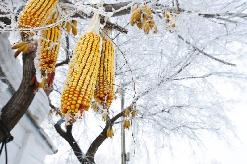Maizes som hänger på treen med rime fotografering för bildbyråer