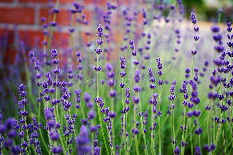 Majów kwiaty obrazy royalty free
