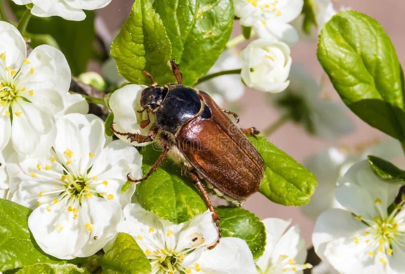 Maj ściga na kwiatonośnej śliwce makro- chrząszcz zdjęcia stock