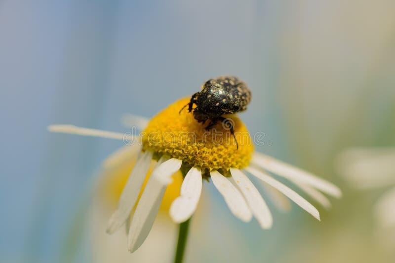 Maj pluskwa zbiera nektar na stokrotce obrazy stock