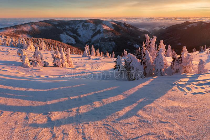 Majestätische weiße Fichten, die durch Sonnenlicht glühen Malerische und herrliche winterliche Szene Jeseniky-Berge, Tschechische stockfoto