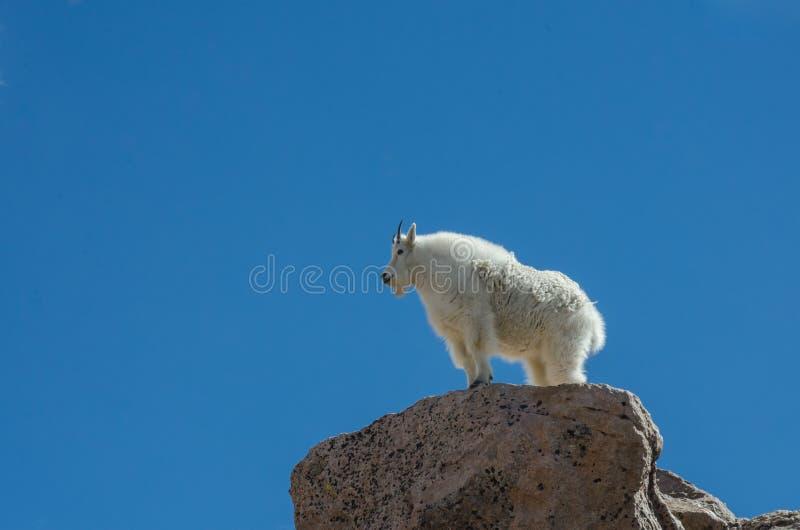 Majestätische Ziege auf Felsen stockfotos