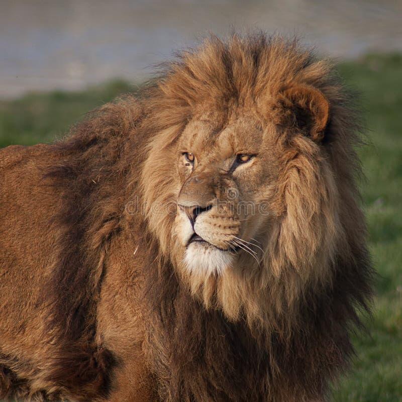Majestätischer Löwe lizenzfreies stockfoto