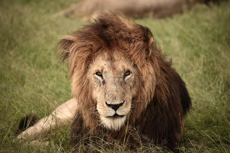 Majestätischer Löwe stockbilder