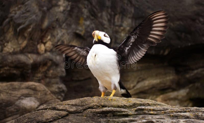 Majestätischer Papageientaucher Rasing es ` s Flügel lizenzfreies stockfoto