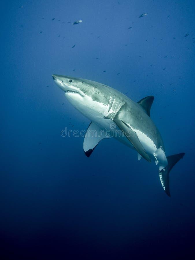 Majestätischer Weißer Hai stockfotos