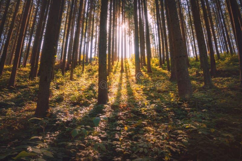 Majestätisk carpathian prydlig skog fotografering för bildbyråer
