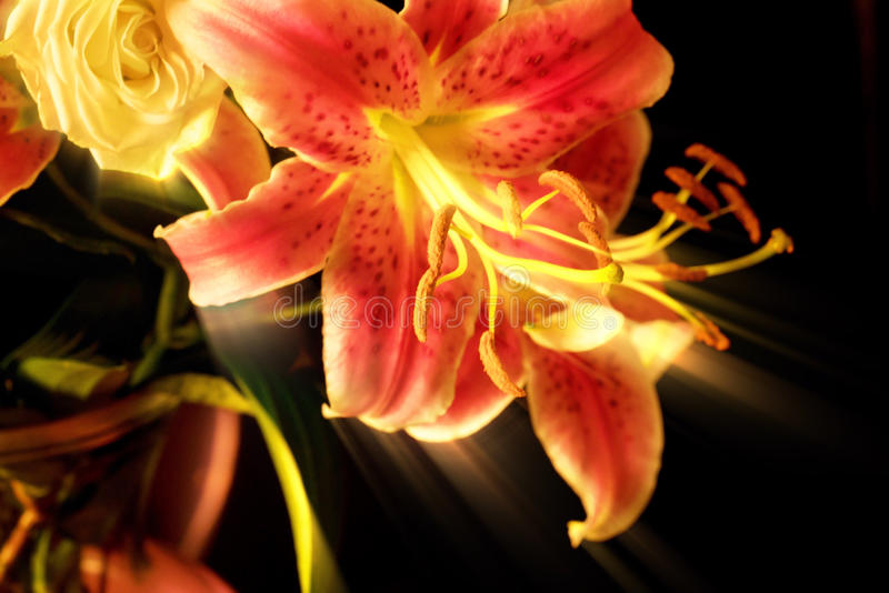 Majestätisk förskjutning för Tiger Lily ` s royaltyfri fotografi