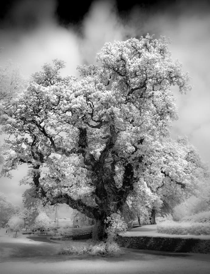 Majestätisk gammal ek som fångas i infrarött svartvitt royaltyfri foto