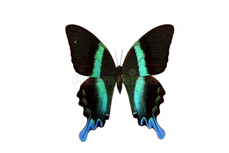 Majestätisk grön Swallowtail Papilio för sällsynt fjäril blumei royaltyfri fotografi