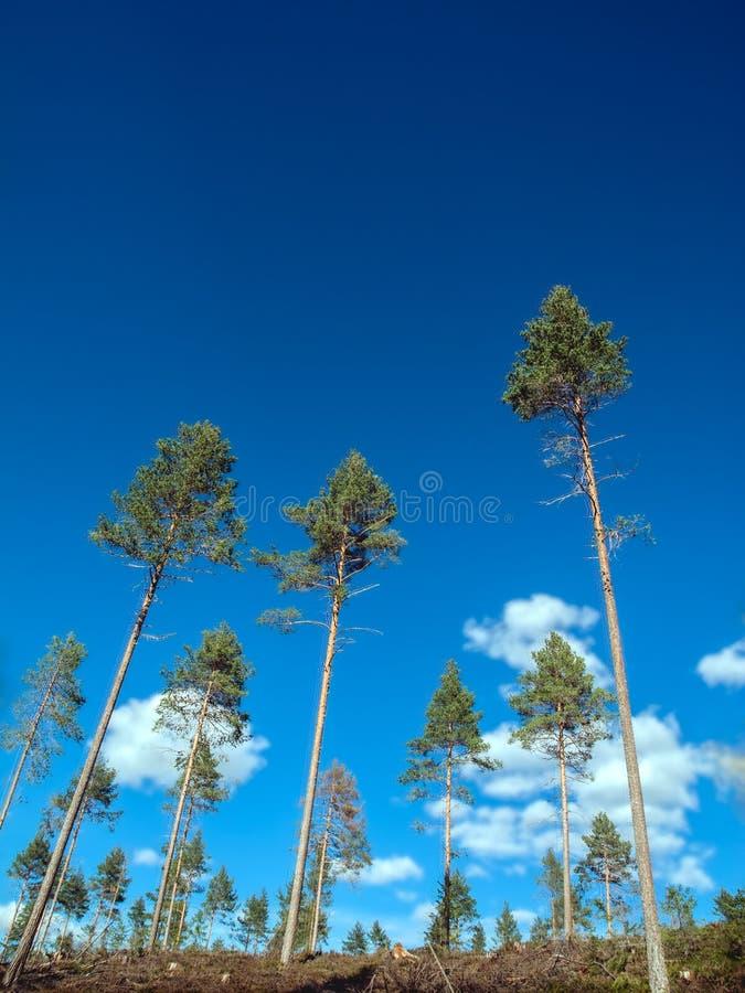 Majestätisk härlig sikt av en dekorativ hög prydlig skog i solljus som växer i ny luft på bygden arkivfoto