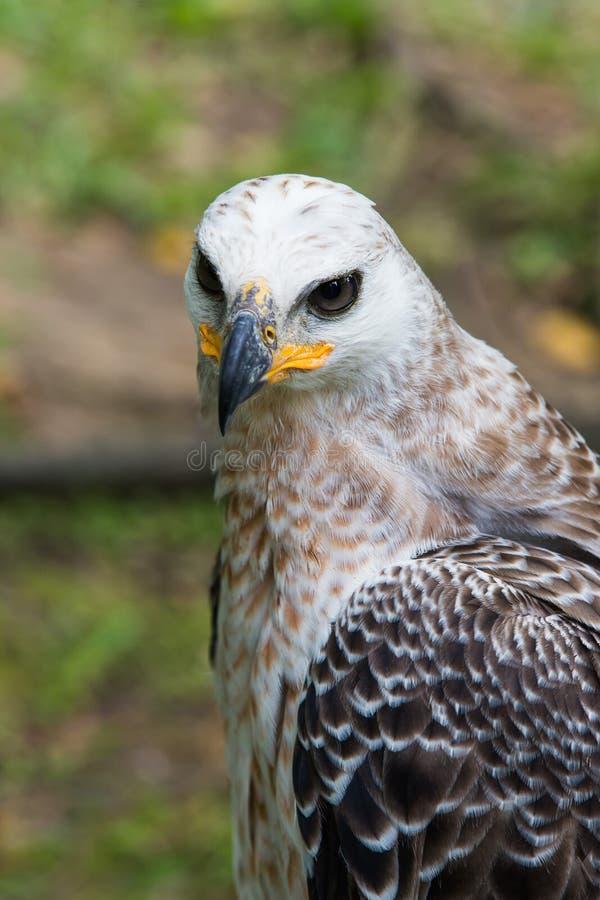 Majestätisk Harpy Eagle royaltyfri bild