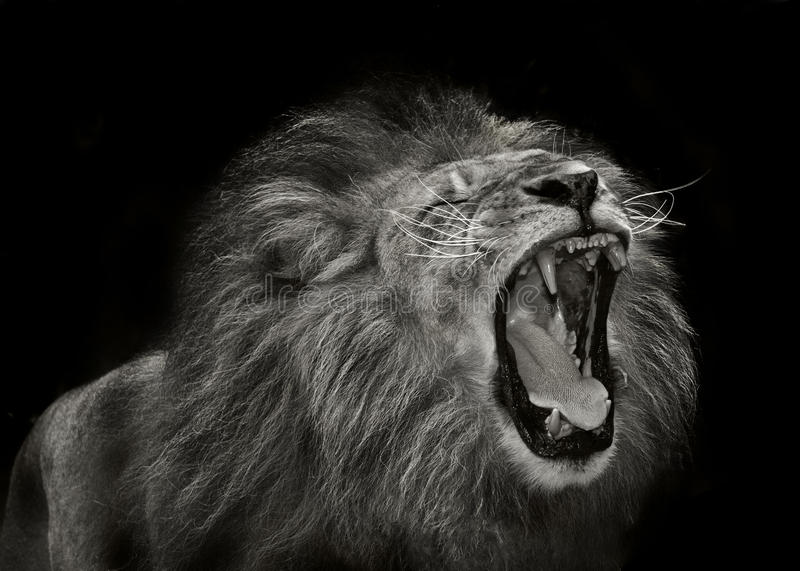 majestätisk lion royaltyfri fotografi