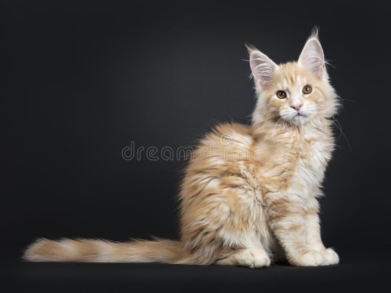 Majestätisk röd kattunge för silverMaine Coon katt på svart royaltyfria bilder