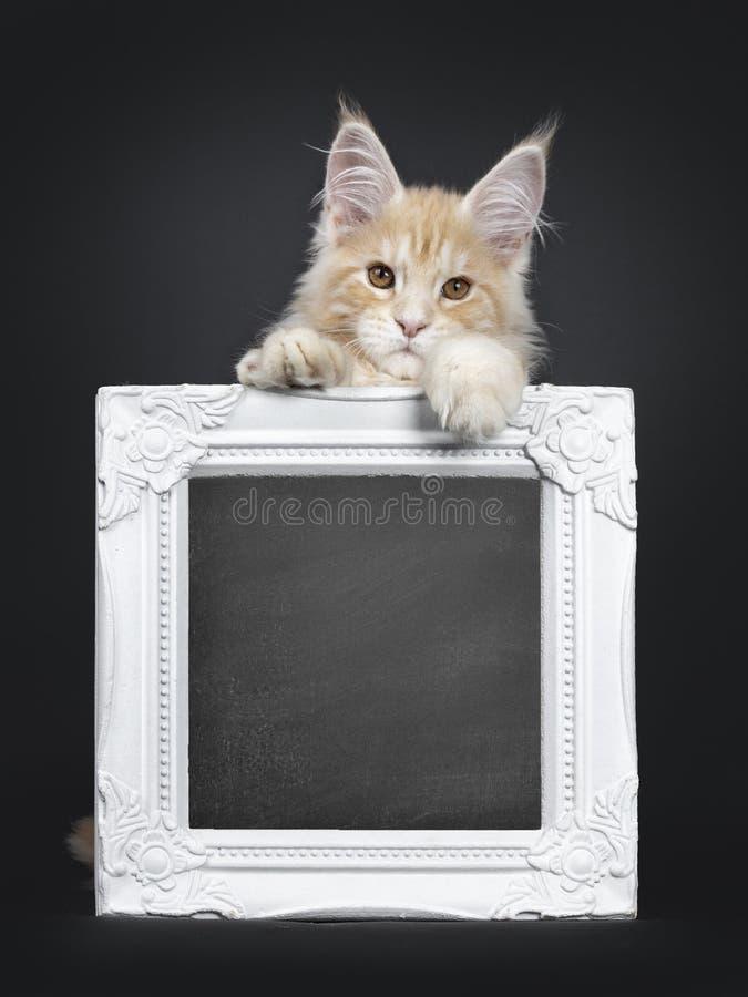 Majestätisk röd kattunge för silverMaine Coon katt på svart fotografering för bildbyråer