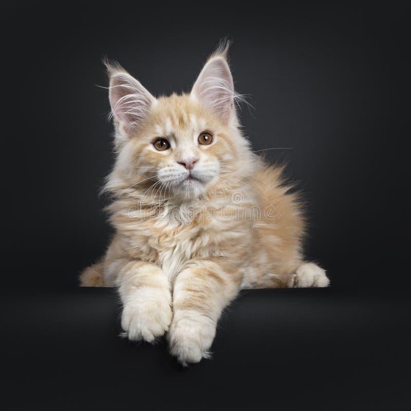 Majestätisk röd kattunge för silverMaine Coon katt på svart arkivbilder