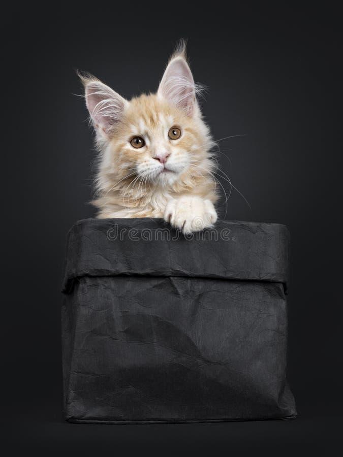 Majestätisk röd kattunge för silverMaine Coon katt på svart royaltyfri fotografi