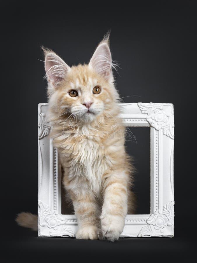 Majestätisk röd kattunge för silverMaine Coon katt på svart royaltyfria foton