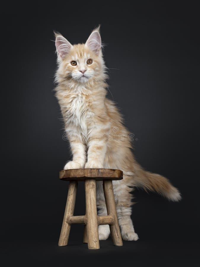 Majestätisk röd kattunge för silverMaine Coon katt på svart royaltyfri bild