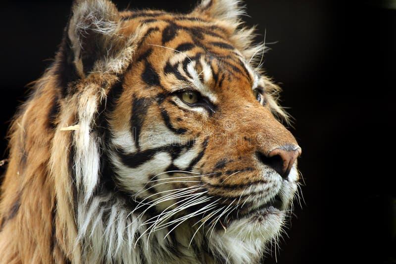 majestätisk tiger arkivfoton
