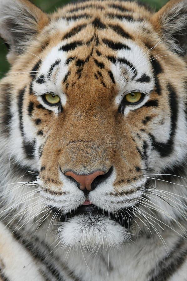 majestätisk tiger royaltyfri fotografi