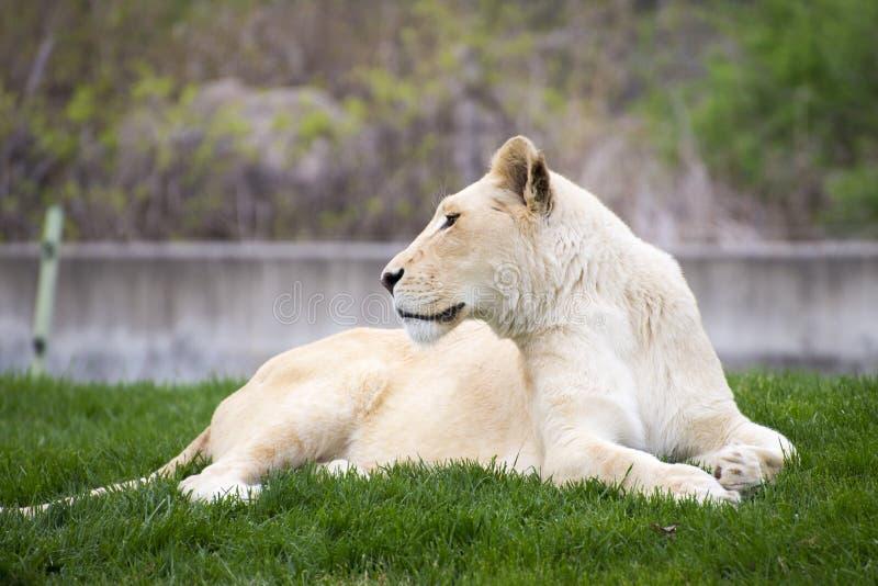 Majestätisk vit lejoninna arkivbilder