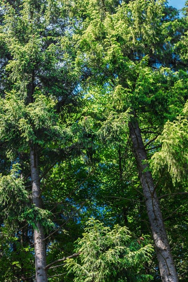 Majestätiska Carpathian berg som täckas med barrträd royaltyfri bild