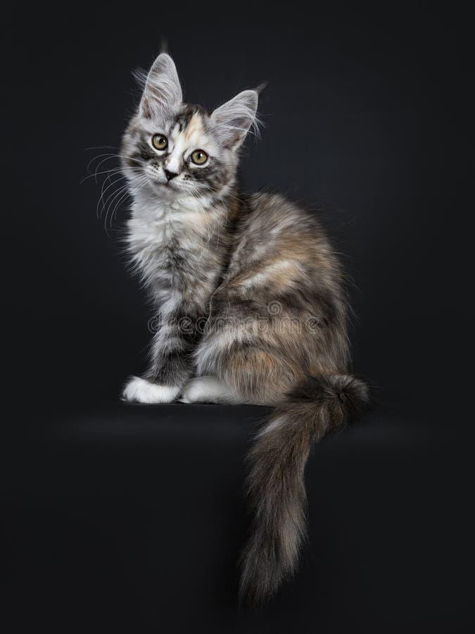 Majestätiska vägar för sida för sammanträde för flicka för kattunge för tortieMaine Coon katt som isoleras på svart bakgrund som  fotografering för bildbyråer
