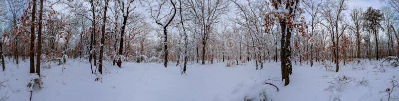 Majestätiska vita granar som glöder vid solljus Pittoresk och ursnygg vintrig plats Carpathian nationalpark för lägeställe, arkivfoton