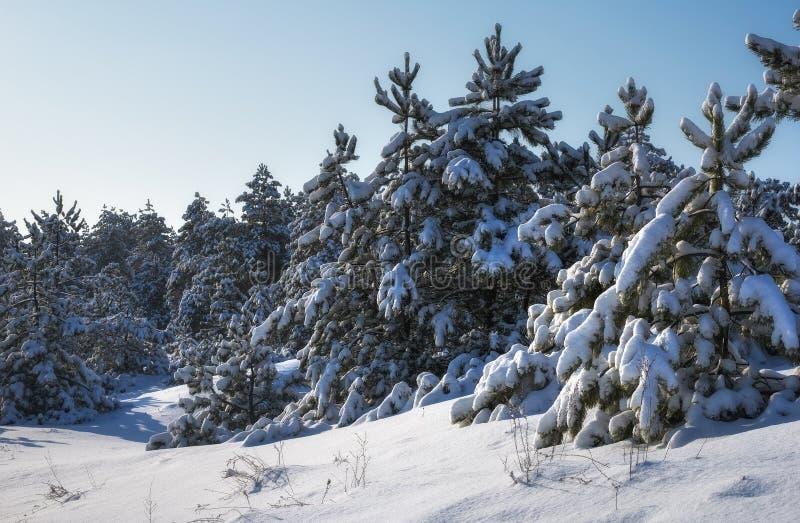 Majestätiska vita granar som täckas med rimfrosten och snö som glöder av solljus Pittoresk och ursnygg vintrig plats fotografering för bildbyråer