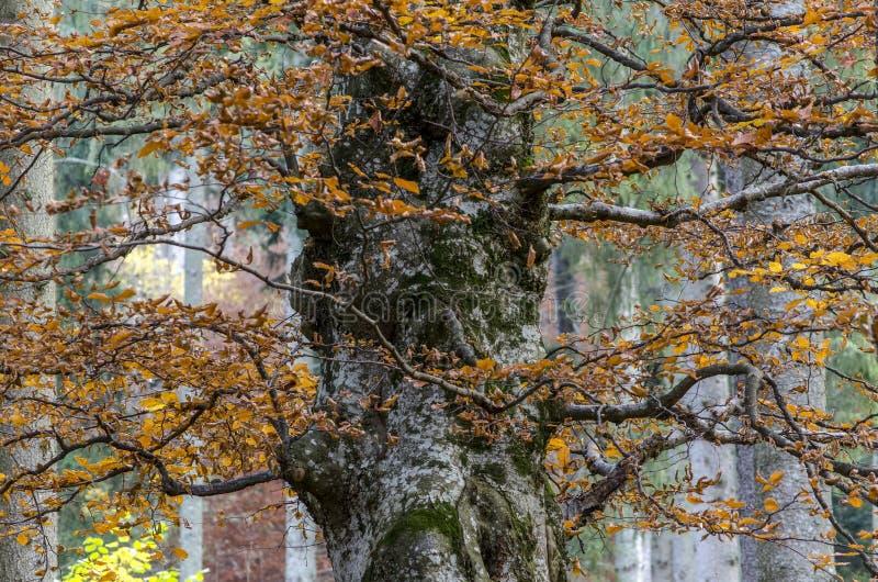 Majestätiskt enormt bokträdträd i höst arkivbild