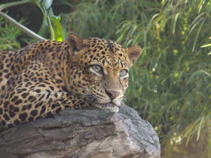 Majestätiskt leopardsammanträde på trädet arkivfoto