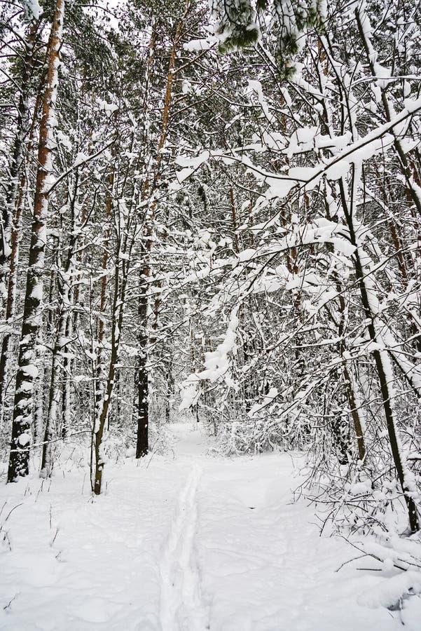 Majestätiskt vinterlandskap som glöder vid solljus i morgonen Dramatisk vintrig plats Carpathian läge, Ukraina fotografering för bildbyråer
